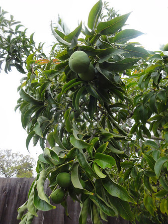 Our Zapote Tree in Spring of 2011