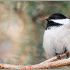 March 2, 2014  Nature's Model Chickadee  (61/365)  Daily theme: Something Borrowed #fmsphotoaday