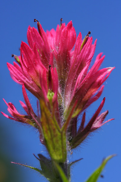 Beatiful Paint Brush against blue sky - Paradise Mt. Rainier NP