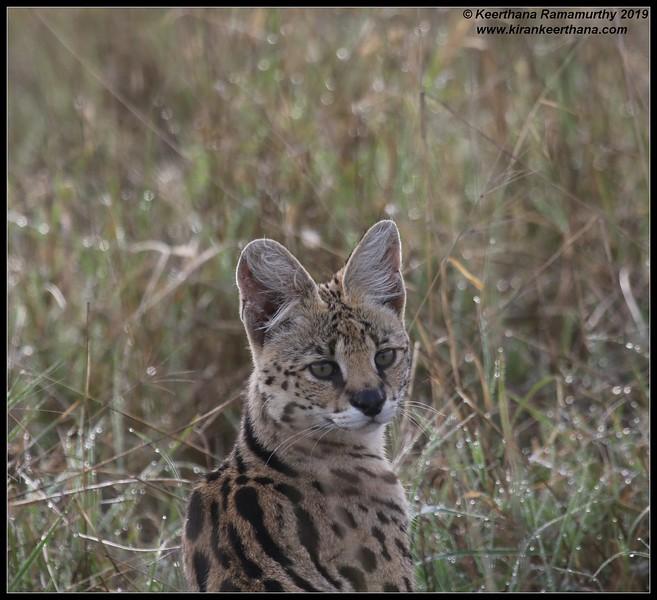 Serval cat, Ngorongoro Crater, Ngorongoro Conservation Area, Tanzania, November 2019