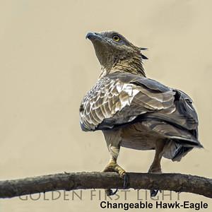 Changeable Hawk-Eagle, Todoba, India