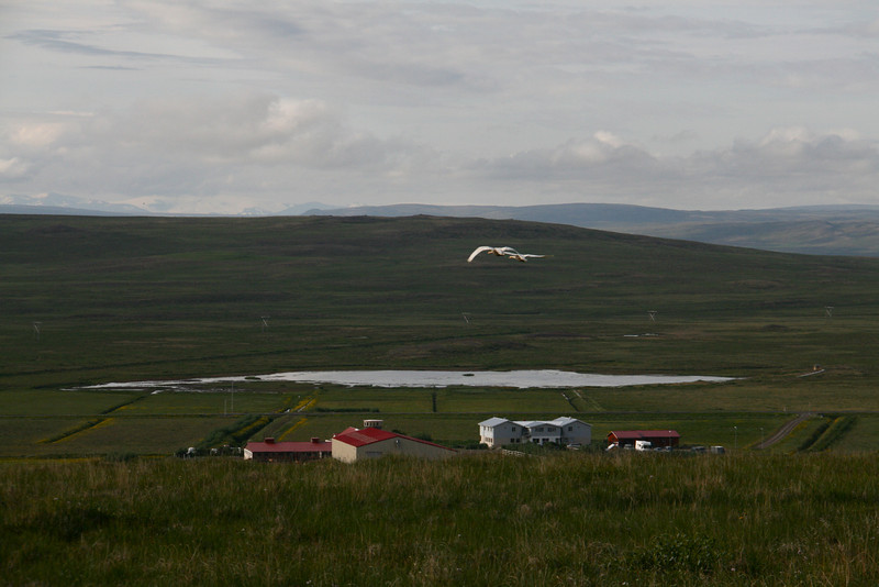 Whooper swans and a farm we stayed at. Gauksmyri, I believe.