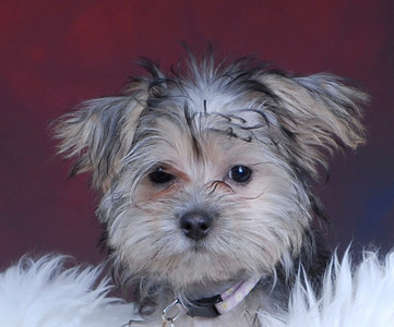 Stars Studio Pups