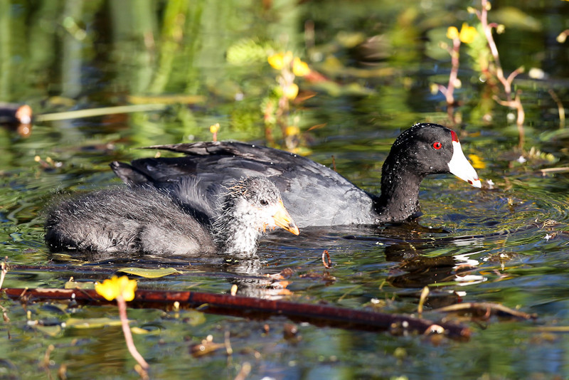 Adult & young American Coot