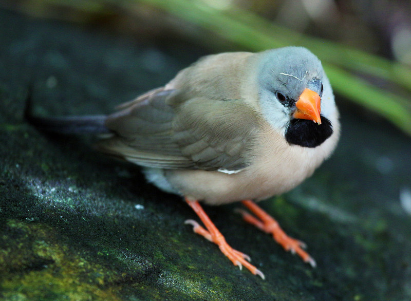 A Shaft Tail Finch