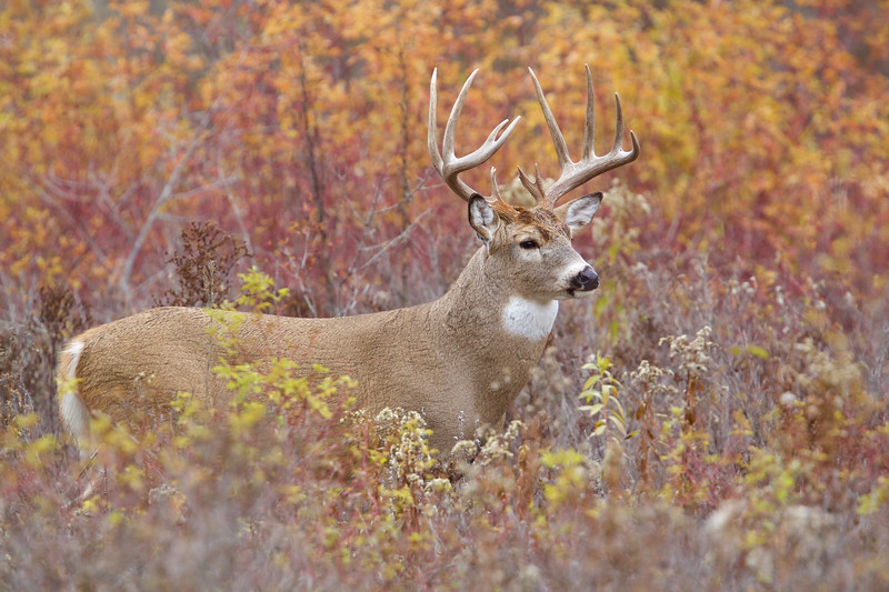 Whitetails in the Wild IMP - 1 (49).jpg