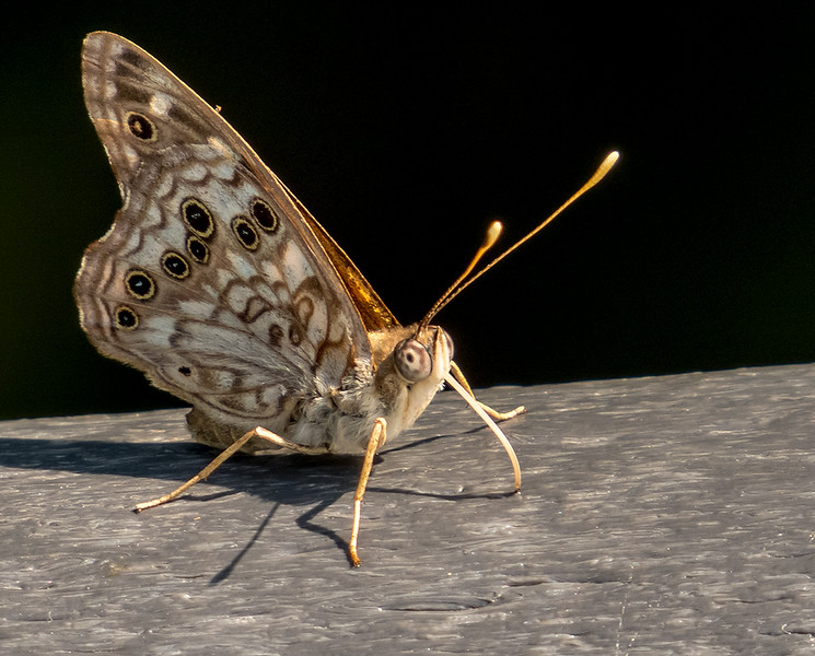 Brown Moth 1.jpg