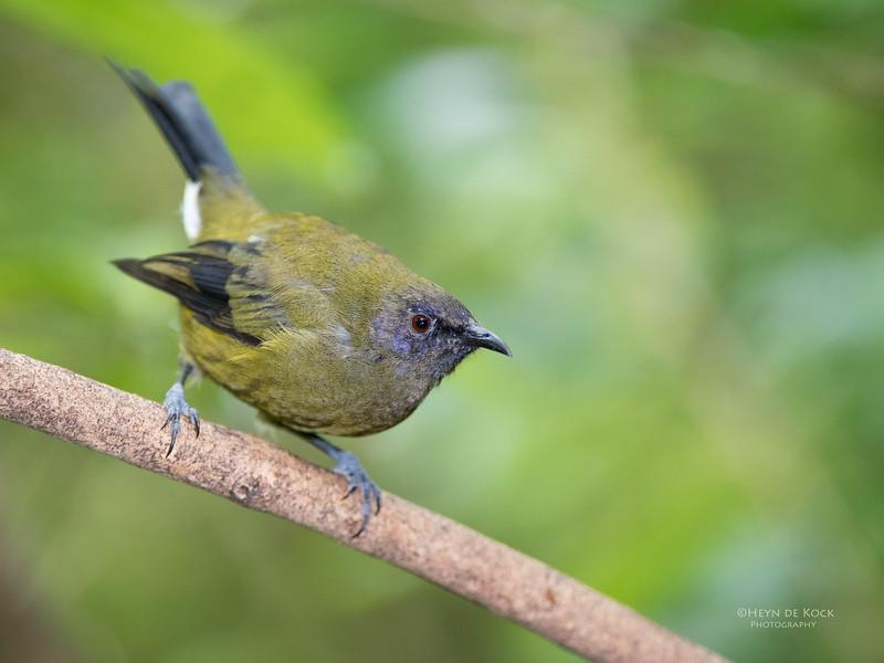 Bellbird, Tiritiri Matangi, NZ, March 2015-1.jpg