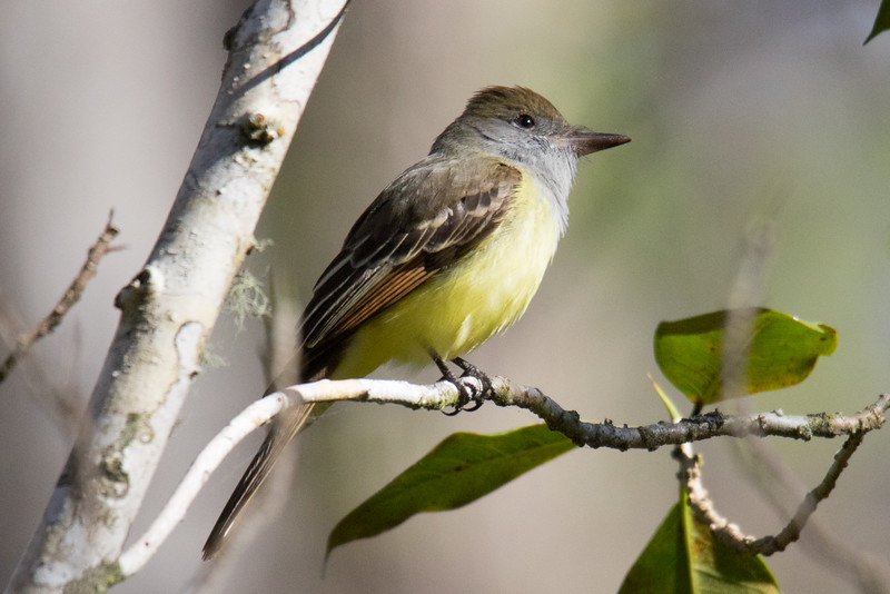 Great-crested Flycatcher So. FL 2020-1.jpg