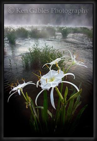 The Cahaba Lily