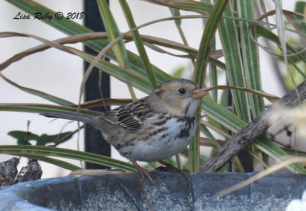 Harris's Sparrow - Nov 2018 thru May 2019