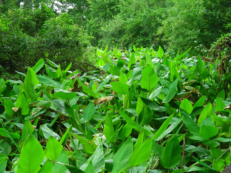Gator flag is a predominant plant in the slow moving water of Corkscrew Swamp.