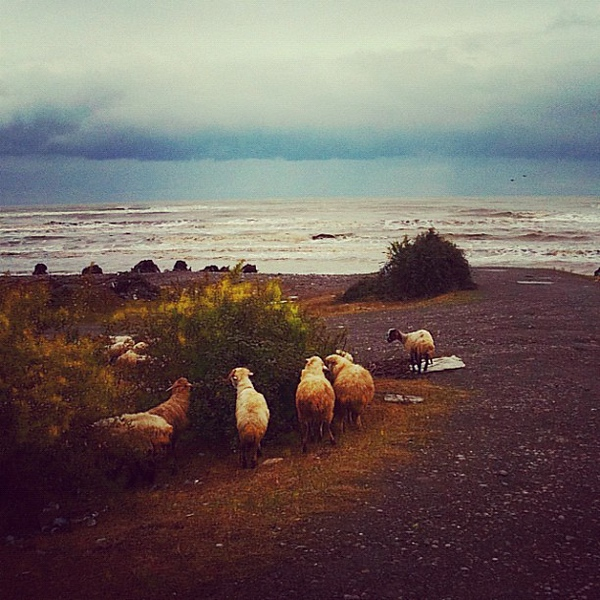 Saggy-bottom sheep on the Caspian coastline - Talesh, Iran