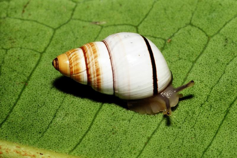 Partulina mighelsiana (Achatinellidae), Molokai