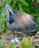 Tri-colored Heron and Eggs at the Alligator Farm #1 05/14