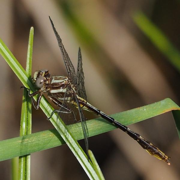 Lancet Clubtail, male