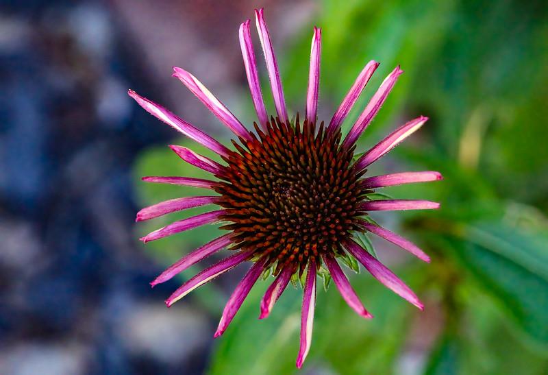 116.Martin Torres.2.Morning Cone Flower.jpg