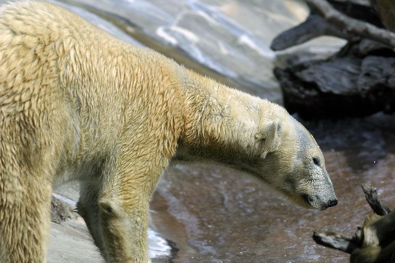 polarbear1.jpg