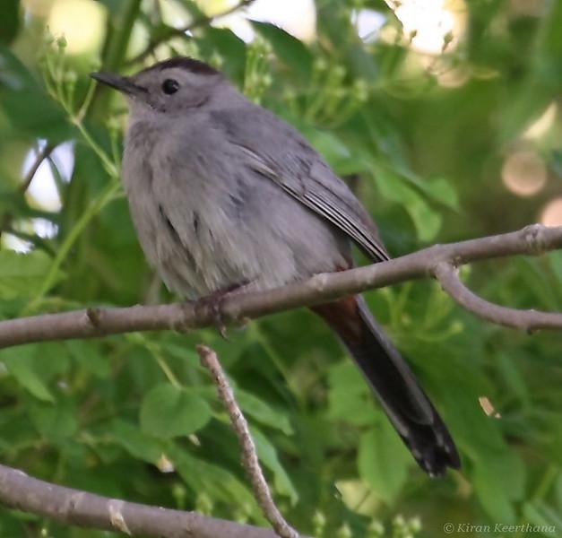 Gray Catbird, Core Creek Park, Bucks County, Pennsylvania, April 2008