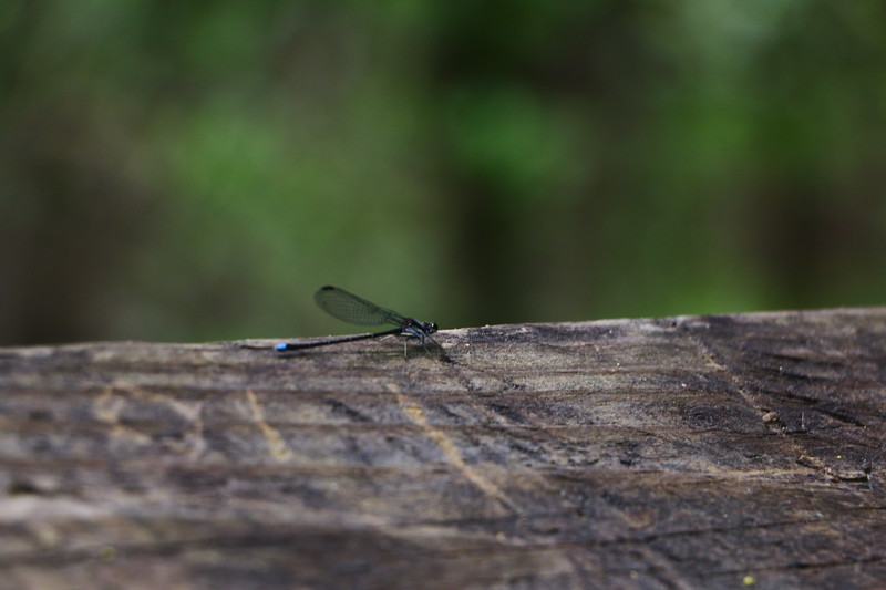 Black Creek, SC Apr 2016. dragonfly.JPG