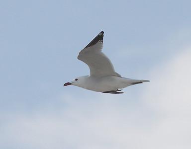Välimerenlokki (Larus audouinii)