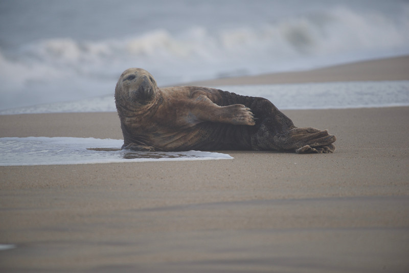 """""""Dollie"""", the male grey seal, was relaxing on the beach the week of April 5 thru April 10. He made stops in Cape Henlopen, Rehoboth Beach and Dewey Beach."""