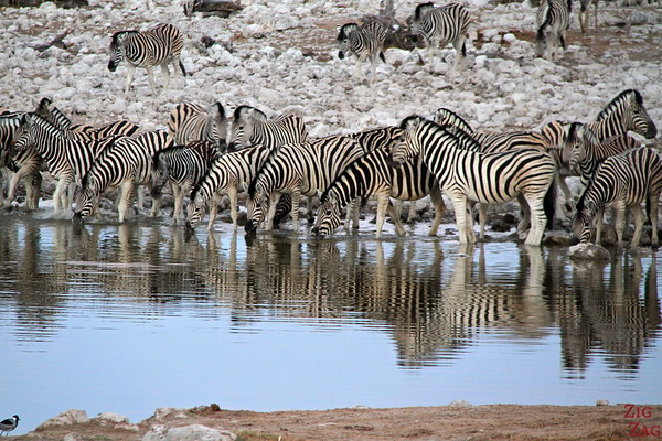 Zebras in Eotsha National park, Namibia 1