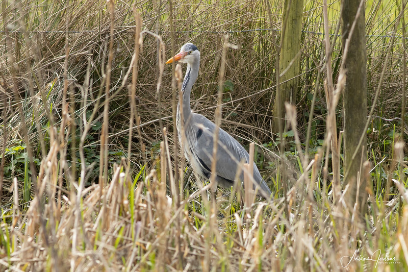 Gray Heron searching and eating frogs