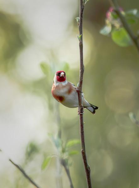 2020 - Goldfinch (April) 005
