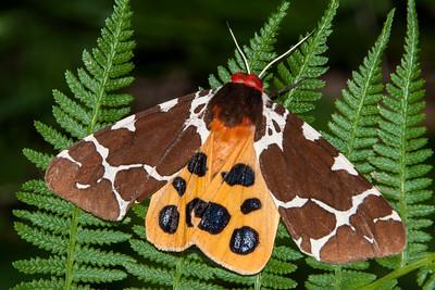 Moths Seen at Dunning Lake, MN