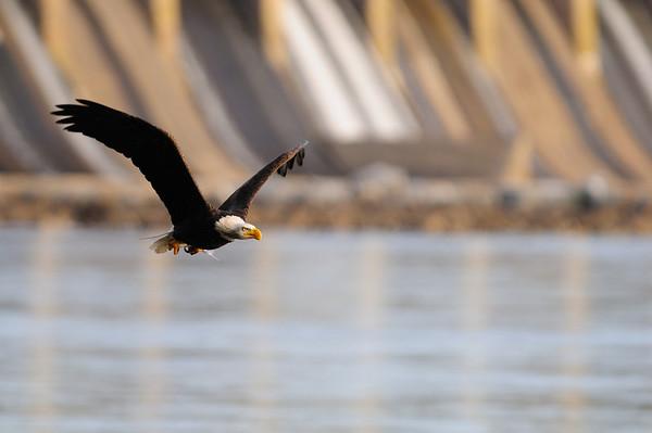 Eagles at the Conowingo Dam