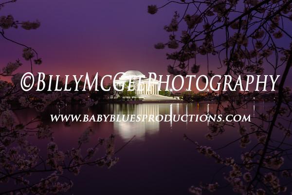 100th Anniversary Cherry Blossoms - 18 Mar 12