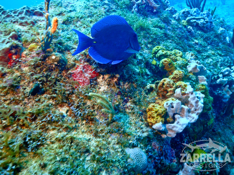 """Blue Tang"" (Fishbowl Reef, St. Maarten)"