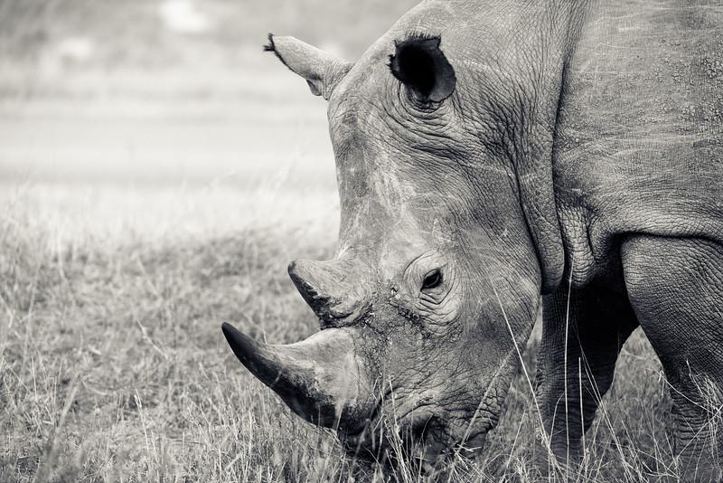 White Rhino Eating