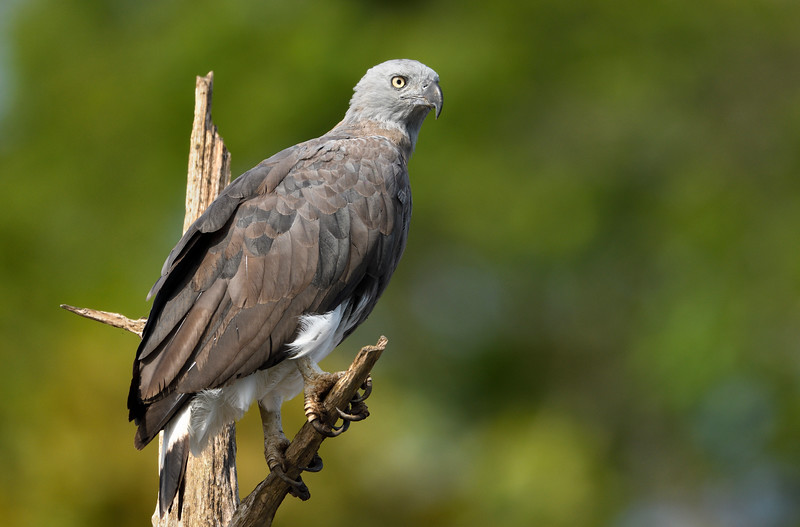 Grey-headed-fish-eagle-bhadra.jpg