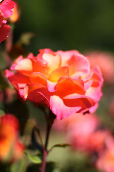 Portland International Rose Test Garden  2194.jpg