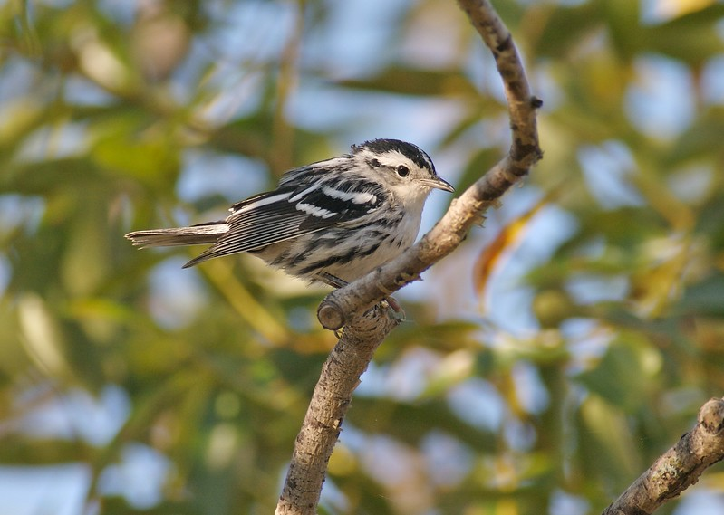 Black and White Warbler [August; Park Point, Duluth, Minnesota]