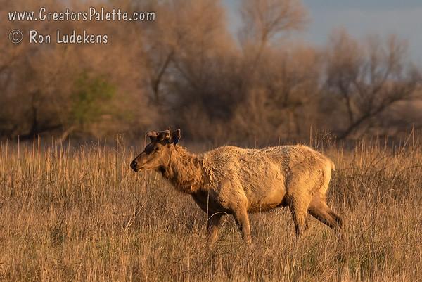 Tule Elk (Cervus canadensis nannodes) at San Luis NWR