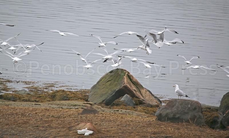CP artwork seagulls in flight 033017 ML.jpg