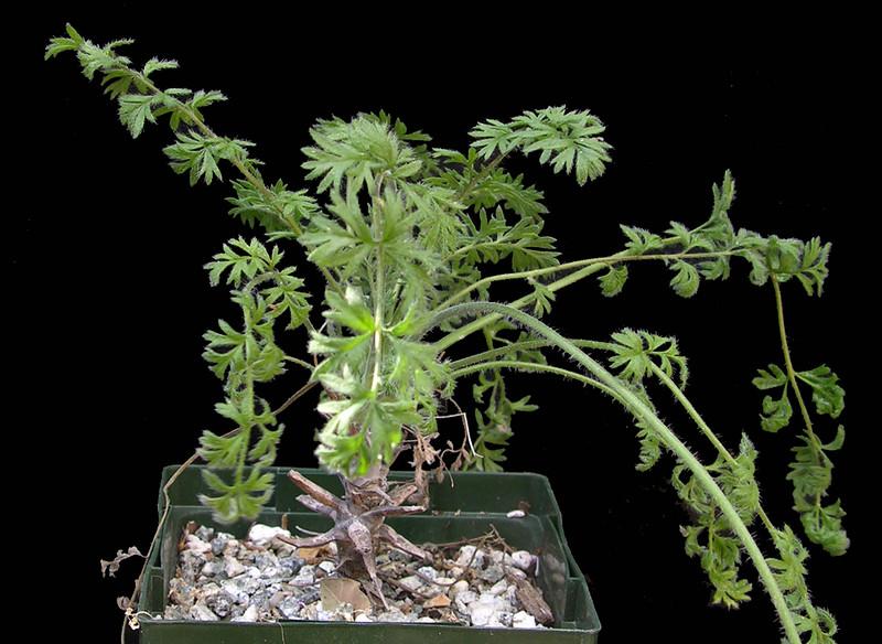Pelargonium crassipes