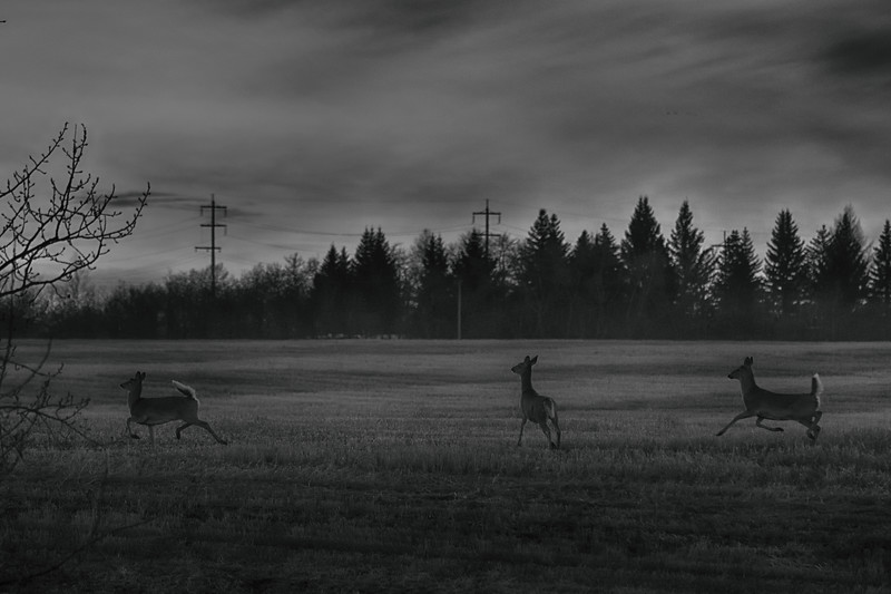 White tails at dusk