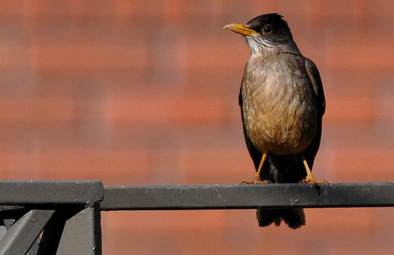 ub austral thrush bu on fence DSC_2441.jpg