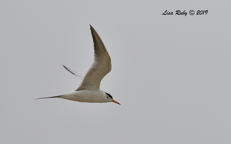 Forster's Tern  - 6/24/2019 - Imperial Beach, Seacoast to river mouth