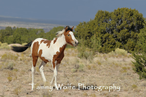 Horses, Feral - Placitas Area (New Mexico)