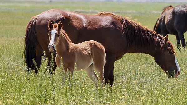 Onaqui Wild Horses 2019