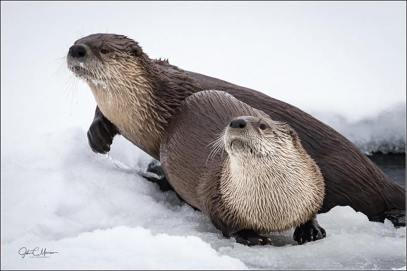 J85_2801 Two Otters LPNW.jpg