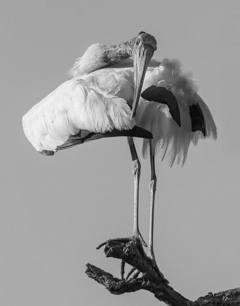 preening stork.jpg