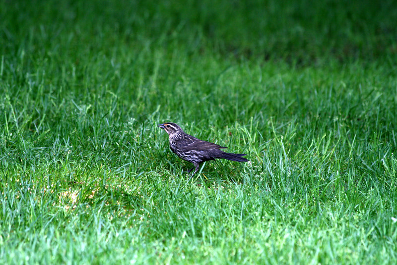 Red-winged Blackbird [female]