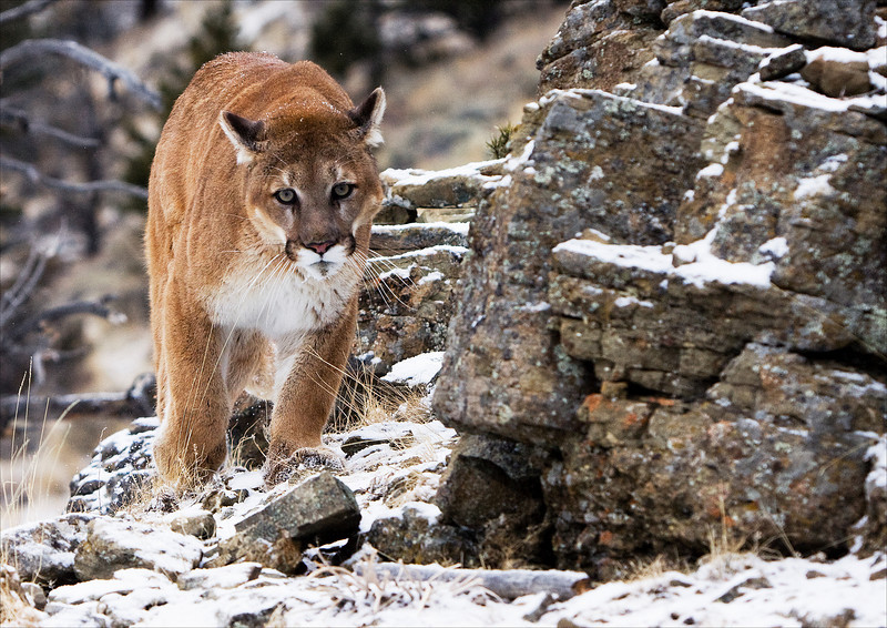Cougar on a narrow rocky trail in Montana
