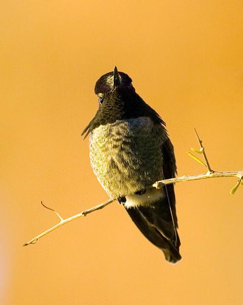arizona-hummingbird_321836423_o.jpg